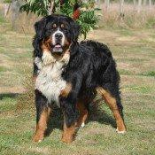 Présentation Bouvier Bernois de l'elevage de chien des Joyeuses Gambades et du chien bouvier bernois