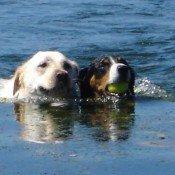 Petit chien sportif et petit chien de Garde - Le bouvier de l'Entlebuch - Elevage de chien de race