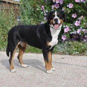 Le Grand Bouvier Suisse à l'élevage de chiens des Joyeuses Gambades