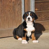 Petit bébé chiot grand Bouvier Suisse idéal comme chien de famille et chien de garde - élevage de Bouviers Suisses des Joyeuses Gambades